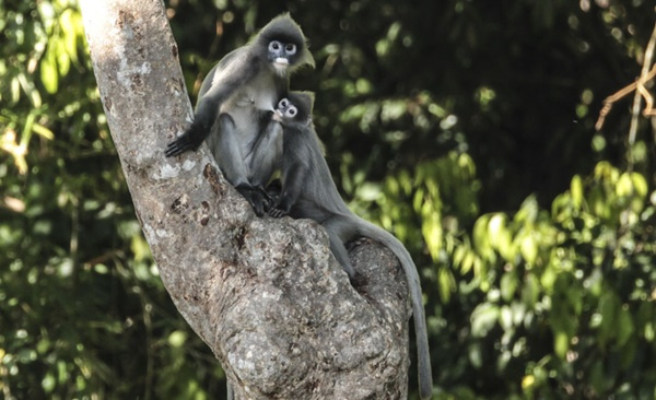 Gibbons of Northern Laos