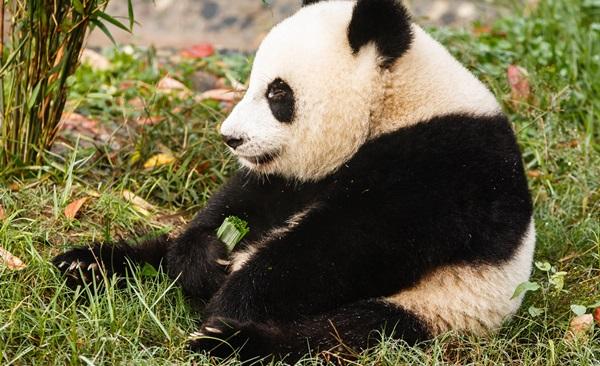 Chengdu Panda Tour: Visa Free Sichuan