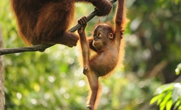 Kalimantan Orangutan Explorer By Houseboat