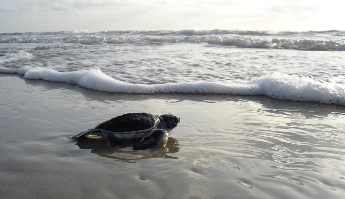 green-sea-turtle-1185954